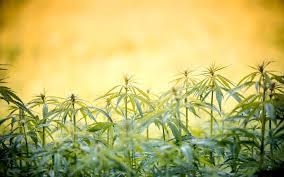 Cannabis Gardening